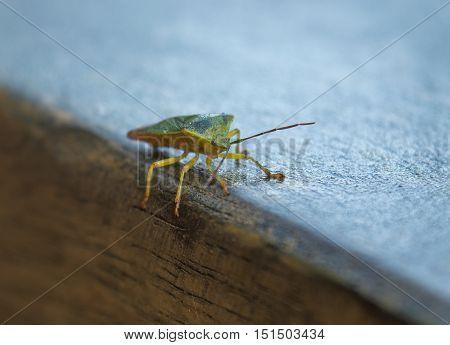 Closeup of a brown stinkbug on a wooden railing