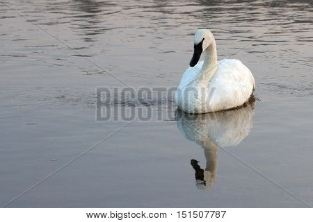 White Trumpeter Swan in Yellowstone River in Yellowstone National Park in Wyoming USA