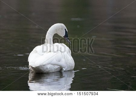 White Trumpeter Swan calmly swimming in Yellowstone River in Yellowstone National Park in Wyoming USA