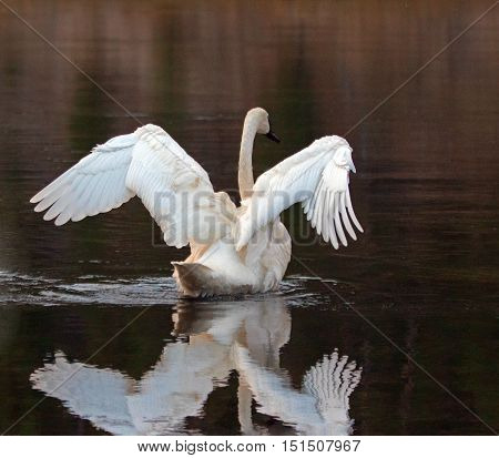 White Trumpeter Swan reflecting in Yellowstone River in Yellowstone National Park in Wyoming USA