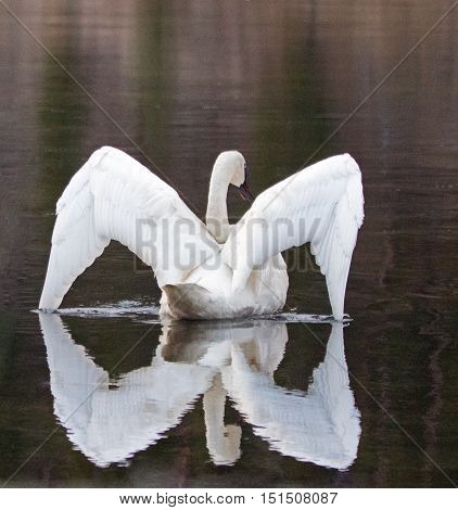 White Trumpeter Swan in Yellowstone River in Yellowstone National Park in Wyoming US