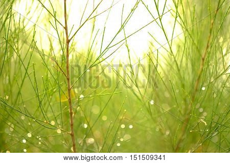 Close-up of a pine tree in morning scene