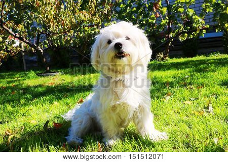 English lapdog - the joy of their owners. Always cheerful and curious  in all its glory!