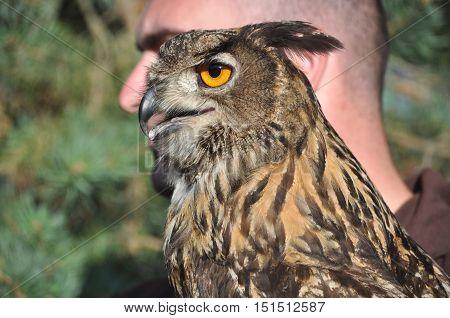 Eurasian eagle-owl (Bubo bubo), side view, portrait