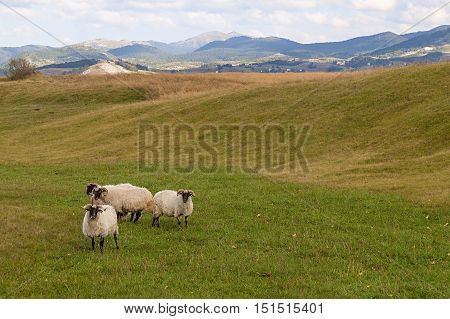 The shepherds took the sheep to their spring pasture. Arable land and beautiful meadows in the early spring.
