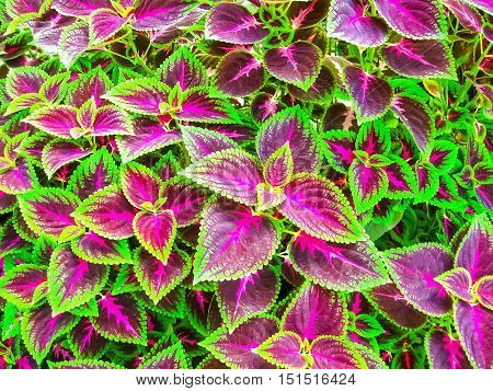 Close up of Coleus leaves Painted nettle Flame nettle