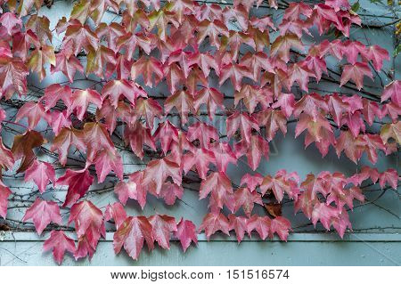 Red Wild Creepy Vine Ampelopsis Grape Branches And Leaves Climbing On Wooden Wall In Historic Town O