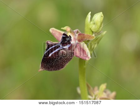 Mammose Ophrys Orchid - Ophrys mammosa syn Ophrys sphegodes subsp. mammosa From Cyprus