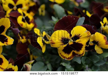 Pansy flowers in a flowerbed - celebration of spring