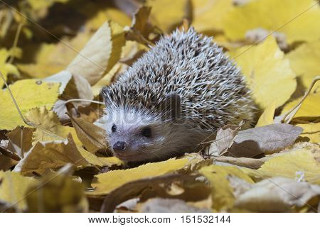 Pet animal African pygmy hedgehog Erinaceus albiventris