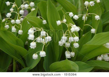 Flowerswhite Spring Bloom