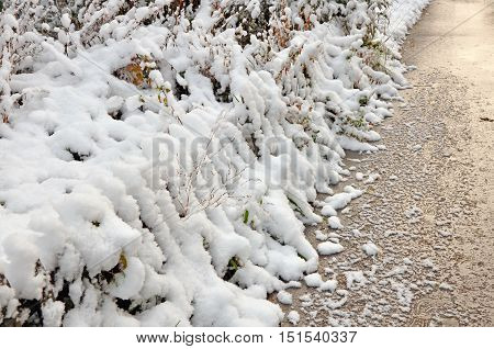 First snow adhered to the bushes and a fence.