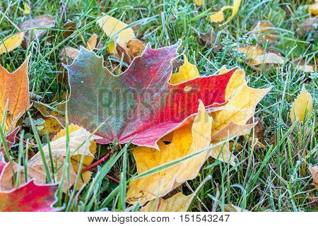 Frozen multicolored autumn maple leaves on the ground
