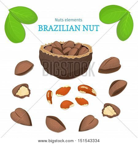 Vector set of nuts. Brazil nut fruit, whole, peeled, piece of half, walnut in shell, leaves. Collection of brazilian nuts designer elements for use in packaging design projects flyer healthy eating