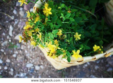Picked yellow plants of tutsan in the basket