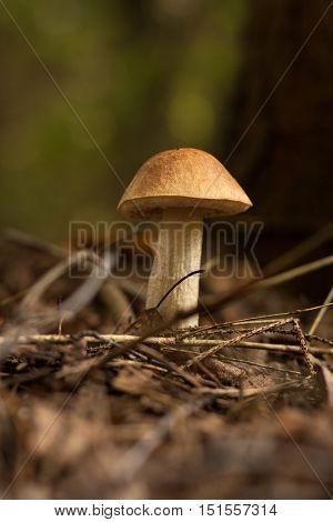 Mushroom Brown Cap Boletus. Edible One Mushroom Brown Cap Boletus (Leccinum Scabrum) In Autumn Forest. Close Up.
