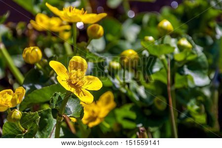 Closeup of a yellow budding and flowering marsh-marigold or Caltha palustris plant in a marshy area on a sunny day in the spring season.