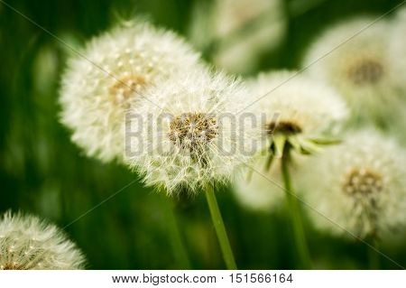 A close shot of white blowballs in the grass