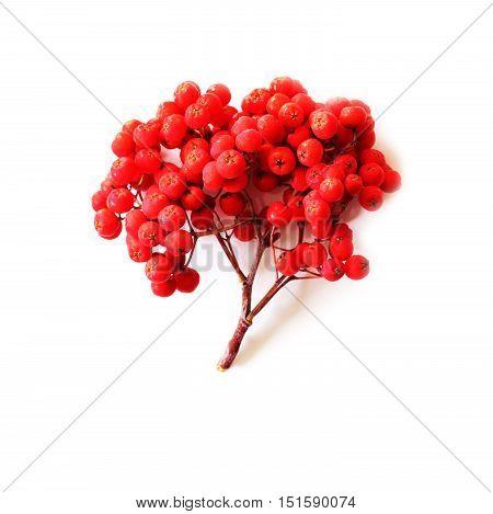 Rowan berry isolated on white autumn background