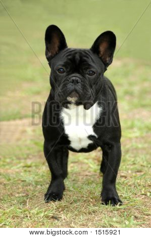 French Bulldog Dog