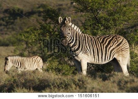 Burchell's Zebra, Equus quagga burchellii, Karoo National Park, South Africa