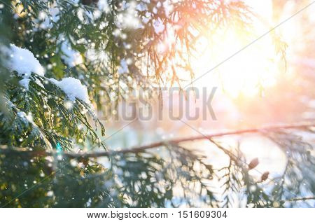 snowy winter christmas tree branch at sunset