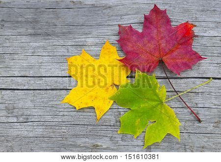 Colorful maple leaves on old wooden background.Red,yellow and green autumn leaves. Fall season, autumn,nature cycle concept.Copyspace.
