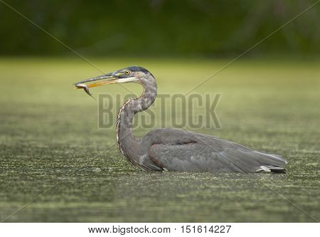 A Great Blue Heron caught wading through the backwaters of a midwest river as it hunts for panfish and other prey.