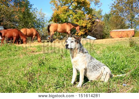 Blue heeler farm dog keeping watch over his pasture of horses