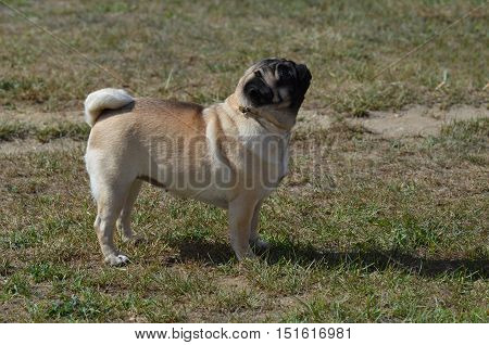 Pug dog looking up attentively for direction.