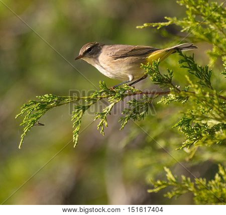 Palm Warbler (Setophaga palmarum) in fall plumage