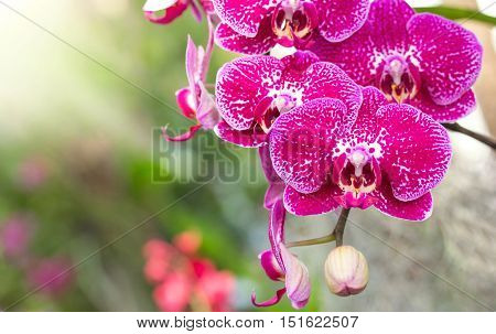 Pink phalaenopsis orchid flower in the garden