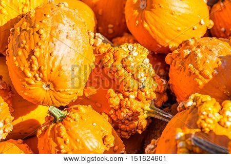 Close Up of decorative bright orange pumpkin gourds with warts.