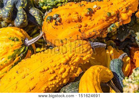 Multiple autumn gourds with warts on display and offered for sale.
