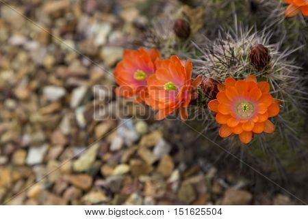 Within grouping of orange hedgehog cactus flowers and buds one blossom is in selective close up focus. Copy space on landscape gravel. Location is Tucson Arizona in America's Southwest. Environmental emphasis on eco friendly xeriscape plantings with no ir