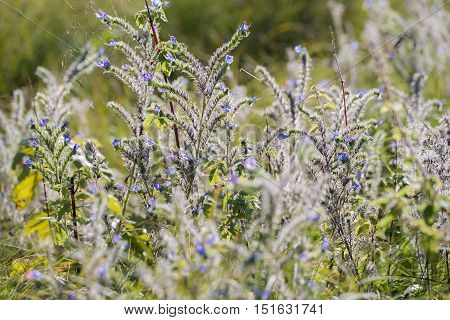 Viper's Bugloss (Echium vulgare) group flowering in a Dune-Valley in Back Light