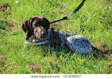 German Shorthaired Pointer dog in a field