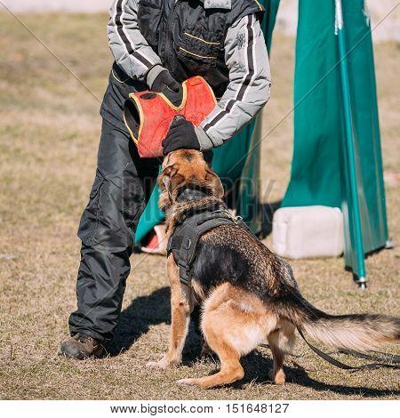 German Shepherd Dog Training. Biting Dog. Alsatian Wolf Dog. Deutscher, Dog