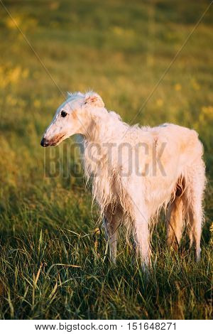 Wet White Russian Dog, Borzoi, Hunting In Summer Sunset Sunrise Meadow Or Field