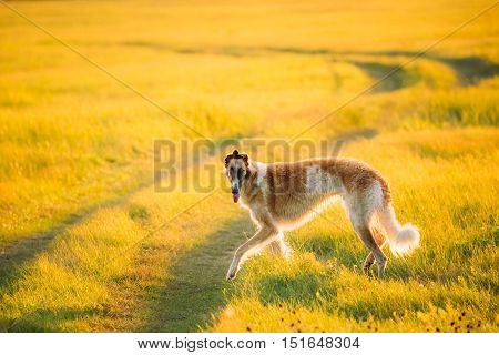 Russian Dog, Borzoi In Summer Sunset Sunrise Meadow Or Field. Rural Road