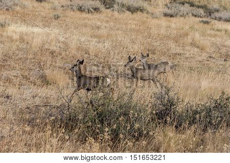 Herd of deer in field near Winthrop Washington.