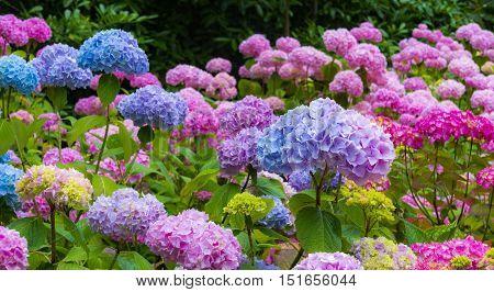 Purple blue and pink Hydrangea flowers (Hydrangea macrophylla) in a garden