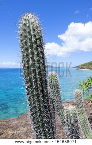 Beautiful thorny green branch of tall erect cactus on rocky shore of Caribbean Sea on Isla Culebra in Puerto Rico