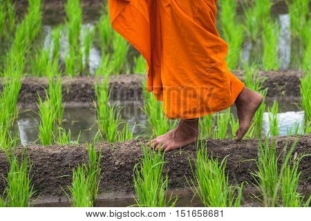 Rear view of monks walking on rice field in morning.