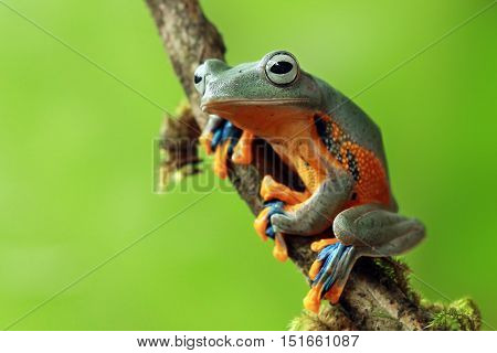Tree frog, javan tree frog sitting on a branch