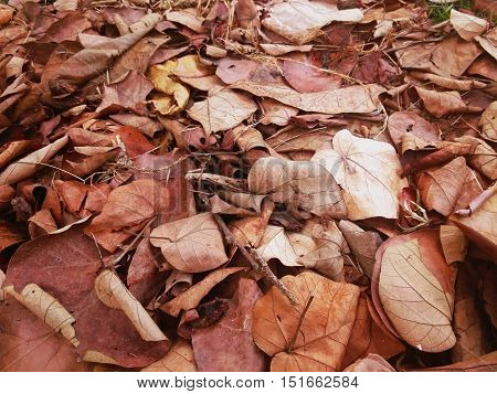 pile of dry sacred fig bodhi tree pippala tree peepal tree or ashwattha tree or Ficus religiosa's leaves