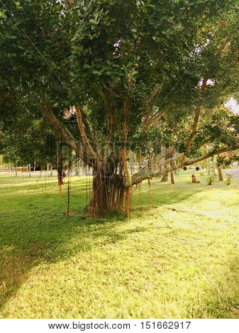 big and old ficus tree or weeping fig in a park