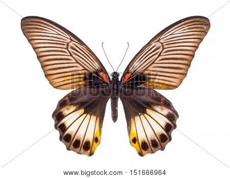 Papilio memnon. Beautiful colorful butterfly. Moth isolated on white.