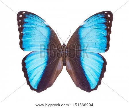 Morpho peleides Beautiful colorful butterfly. Moth isolated on white.