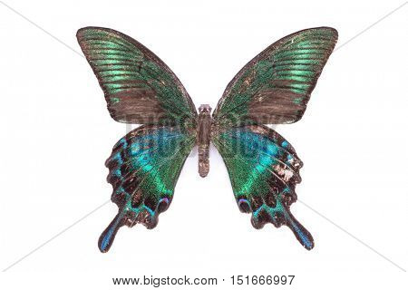 Papilio, Palinuris. Beautiful colorful tailed butterfly with dark cyan wings isolated on white.